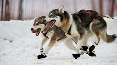 It's the Dog in You An Oklahoma veterinary scientist named Mike Davis says there's no doubt about it: The world's greatest athletes, of any species, are the canines who pull sleds at the Iditarod. Coton De Tulear, Yorkshire Terriers, Alaska Dog, Wolf Husky, Pet Dogs, Pets, Doggies, Animal Activist, Dog Wallpaper