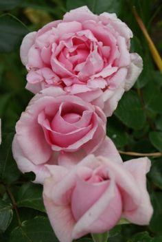 Floribunda Rose: Rosa 'Petit Trianon' AKA 'La Nina' (France, before 2003)