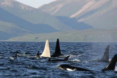 Gorgeous nature, an albino killer whale spotted off Russia.