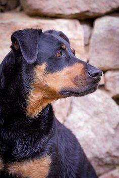 Doberman Mix, Doberman Pinscher, Doberman Training, Sweet Dogs, Black Lab Puppies, Corgi Puppies, Dog Grooming Business, Bunny And Bear, Black Labrador