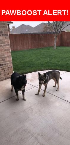 Is this your lost pet? Found in Amarillo, TX 79119. Please spread the word so we can find the owner!  2 dogs found laying together in the middle of georgetown drive in the colonies. they seem like they are someone's pets. both are male. the dog with the darker coat has one light blue eye and one light brown eye.  Nearest Address: Near Georgetown Dr & Barrington Ct