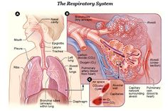 Health benefits of cloves - Respiratory System