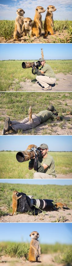 Charismatic baby #meerkats in Botswana have a field day with this photographer. - I love this.