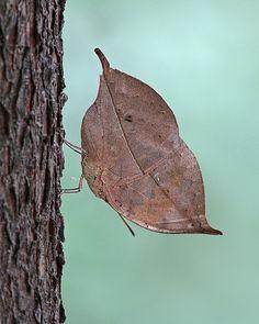Hoja de Roble de la mariposa de color naranja