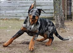 Top 250 Best Beauceron Dog Names Rare Dogs, Rare Dog Breeds, Best Dog Breeds, Best Dog Names, Best Dogs, Cute Baby Dogs, Miniature Dogs, Dog Id, Wild Dogs