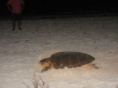 Tyne Beach, Freeport, the Bahamas  Turtle laying eggs on the beach!
