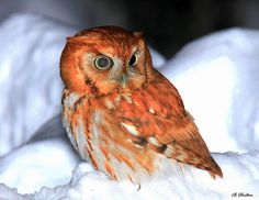 """Snow E Owl"" by William Dalton 