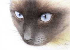 Cats - The Wildlife Art Of Vic Bearcroft Siamese Cats, Cats And Kittens, Rescue Cats, Color Pencil Art, Gourd Art, Realistic Drawings, Domestic Cat, Cat Drawing, Beagles