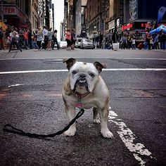 New York Canine Photography - These Bulldog Photos Feature Maya the New York-Based Bulldog (GALLERY)