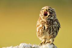 18 Photos Of Baby Animals Yawning (BECAUSE BABY...