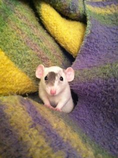 Oh hey there! Cute Dumbo rat