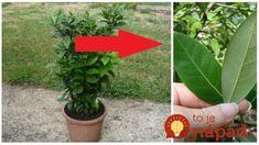 Dajte si ju pred dvere a máte pokoj od hmyzu aj otravných komárov: Tieto lístky poznáme všetci, málokto však tuší, čo dokáže celá rastlina!