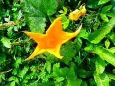 Flor de la calabaza.