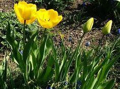 Tulipán zahradní Latin. n. Tulipa