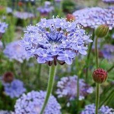 Didiscus caeruleus 'Lavender Blue'