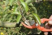 Fruits et verger - Quand tailler les arbres fruitiers et arbustes à petits fruits ?