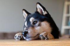 Shiba Inu - I really really want that......