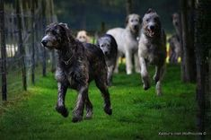 A herd of Irish Wolfhounds
