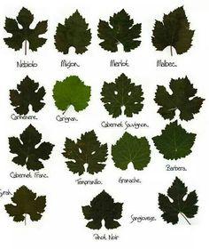 Grape leaves chart, cool