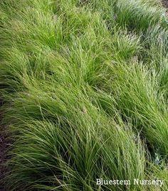 Carex pensylvanica - Pennsylvania Sedge. A beautiful lawn substitute for shady areas. A North American native.