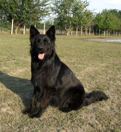 Black German Shepherd: you don't see as many of these guys but they are out there! And I love the long hair on this one.