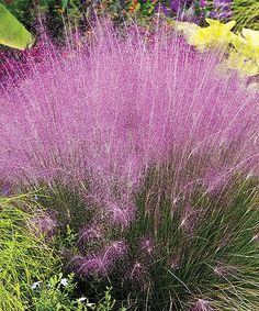 Cotton Candy Plant - Add a burst of color and texture to your garden with these lush ornamental grasses that flourish in hot, humid, dry or wet conditions. Enjoy light pink plumes in late summer with these wild, hardy plants. - Grows to approx. 20'' to 36'' H - Perennial - Bloom time: all summer - Full sun to partial shade - Hardy in zones 5 to 10