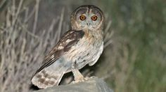 New owl discovered in Oman