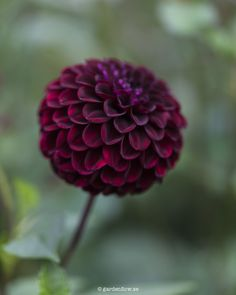 Dahlias are fascinating flowers. This is 'Dark spirit'. So easy to love if you like dark red or black tones. New for me this year. Definitely going to hold on to this one. Cut Flower Garden, Flower Farm, Flower Pots, Dark Flowers, Cut Flowers, Beautiful Flowers, Garden Plants Vegetable, Dark Spirit, Gothic Garden