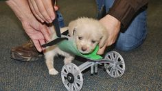 With a custom-built 3-D printed wheelchair, this puppy's tumbling days may be over