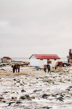 Icelandic Horses   Scandinavia Standard