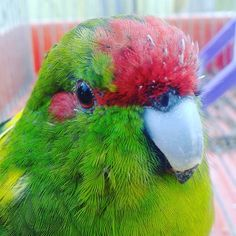 Elet#parrot #beauty #green #red #yellow #life #picture #sweet #cutie by banoczi.lili__ http://www.australiaunwrapped.com/