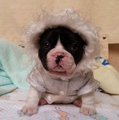 Fashionable Frenchies: | This Instagram Account (Full Of Bulldog Puppies) Will Revolutionize Your Life