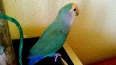 "Agaporni ""Azulín"" Parrot, Parrot Bird, Parrots"