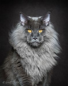 Portraits of Maine Coon Cats Who Look Like Majestic Mythical Creatures - My…