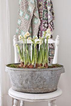tub of blooming bulbs