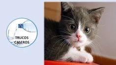 Como educar y cuidar a un gato - Consejos para cuidar a tu gato. Hoy en día la gran mayoría de los gatos están domesticados y se han convertido en unos hermosos y dóciles animales de compañía, sus ...
