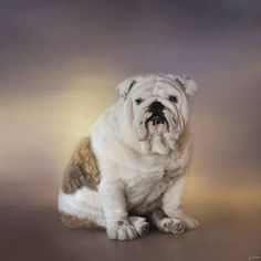 Giclee Print: Patient Young Bulldog by Jai Johnson : 16x16in