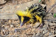 Lowland Streaked Tenrec It is a small animal, with a long snout and limbs, and a vestigal tail. Pelage black with yellow longitudinal stripes dorsally, light beneath; scattered quills, some barbed and detachable. Bizarre Animals, Unusual Animals, Rare Animals, Animals And Pets, Funny Animals, Animal Memes, Funny Dogs, Beautiful Creatures, Animals Beautiful