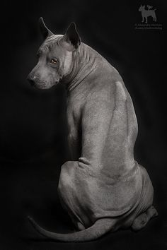 Thai Ridgeback by Clockworkdog, via Flickr This is a rare and very beautiful breed.