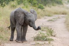 A young elephant proving his strength. Photograph by Mike Sutherland.