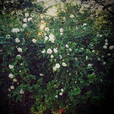 My gorgeous white rose bushes! Makes the garden smell nice too! My gorgeous whit Rose Bush, White Roses, Nature Photography, Nice, Garden, Plants, Summer, How To Make, Beautiful