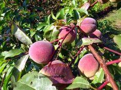 Gourmetkaters Garten: Bilder aus meinem Garten... Pfirsich #gardening #fruits