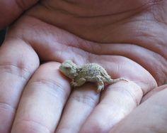 Lil' tiny baby bearded dragon
