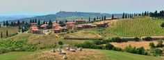 Cows enjoying the Tuscan countryside in Monticchiello. In the background there's Pienza.