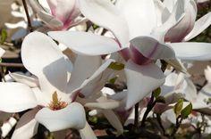 Magnolie w Powsinie