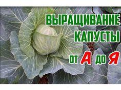 Выращивание капусты в открытом грунте - YouTube