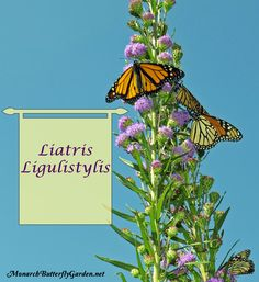 Liatris ligulistylis attracts masses of monarchs to butterfly gardens right around the time of the great monarch migration, an amazing spectacle to behold!