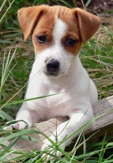 https://www.luvmydogs.com/2017/07/everything-about-your-jack-russell.html