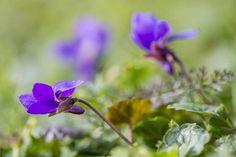 Újra virágzik az orgona és az ibolya – Vajon milyen telünk lesz? - Agroinform.hu