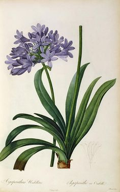 Agapanthus umbrellatus, from `Les Liliac - Pierre Joseph Redouté als Kunstdruck oder handgemaltes Gemälde. Flowers Illustration, Illustration Blume, Floral Illustrations, Botanical Illustration, Antique Illustration, Digital Illustration, Vintage Botanical Prints, Botanical Drawings, Antique Prints
